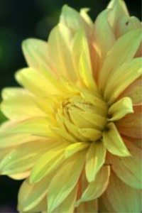 yellow dahlia flower bloom 2