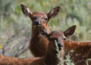 Baby Elk Calves | Photos and Images | Animals