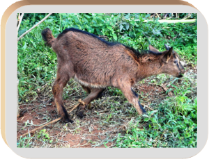 German alpine goat | Photos and Images | Animals