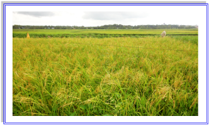Rice field | Photos and Images | Agriculture