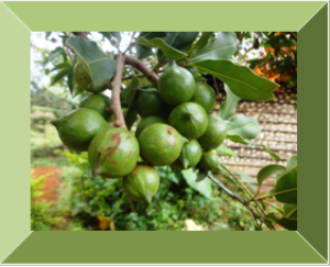 Macadamia nuts | Photos and Images | Agriculture