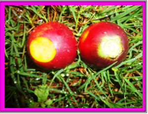 Red fruit | Photos and Images | Agriculture