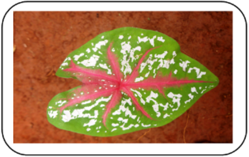 First Additional product image for - Decollated leaves