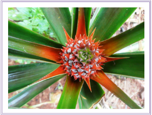 Pineaple flower | Photos and Images | Botanical