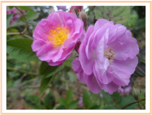 Roses | Photos and Images | Botanical