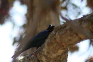 brewers blackbird | Photos and Images | Animals