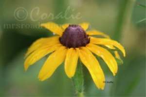 Blackeyed Susan Daisy Flower 2 | Photos and Images | Botanical