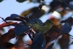 american goldfinch download | Photos and Images | Animals