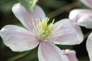 Clematis Flower 4 | Photos and Images | Botanical