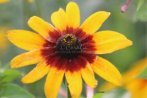 Colorful Gloriosa Daisy flower bloom 10 | Photos and Images | Botanical