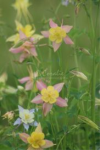 columbine flower blooms | Photos and Images | Botanical