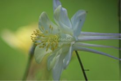 First Additional product image for - white columbine flower bloom in green