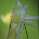 white columbine flower bloom in green | Photos and Images | Botanical