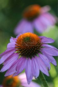 Cone Flower Bloom 7 | Photos and Images | Botanical