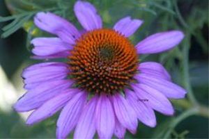 Cone Flower Bloom In Purple | Photos and Images | Botanical