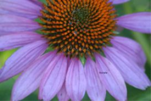 Cone Flower Bloom 6 | Photos and Images | Botanical