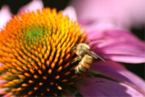 Cone Flower Bloom honeybee 2 | Photos and Images | Animals
