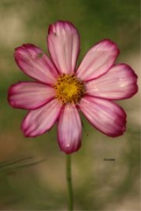 cosmos flower bloom | Photos and Images | Botanical