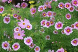 Cosmos Flower Blooms 3 | Photos and Images | Botanical