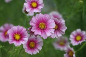 Cosmos Flower Blooms 2 | Photos and Images | Botanical