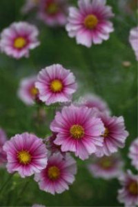 Cosmos Flower Blooms | Photos and Images | Botanical