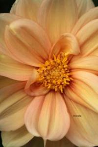 cream colored dahlia | Photos and Images | Botanical