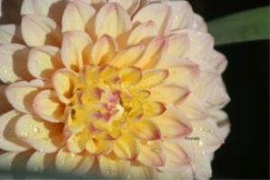 dahlia flower 7 | Photos and Images | Botanical
