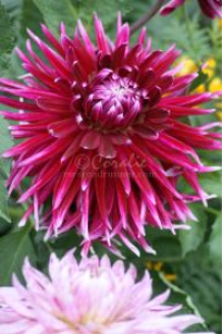 two dahlia flowers | Photos and Images | Botanical