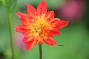 Dahlia Bud Opening | Photos and Images | Botanical