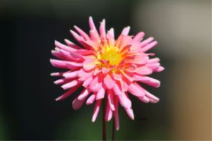 Dahlia Flower Bloom 5 | Photos and Images | Botanical