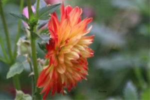 Dahlia Flower Bloom 4 | Photos and Images | Botanical