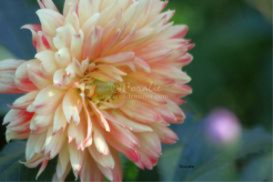 dahlia flower bloom 3 | Photos and Images | Botanical