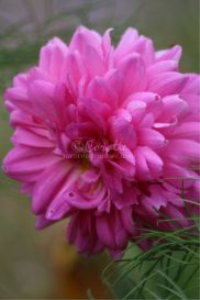 Soft Colors Of The Dahlia Flower Bloom | Photos and Images | Botanical