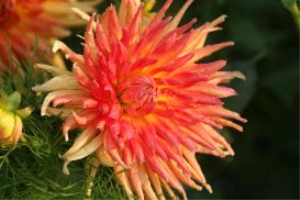 Dahlia Flower Bloom 2 | Photos and Images | Botanical