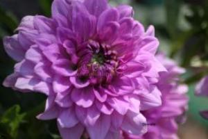 purple dahlia flowers | Photos and Images | Botanical