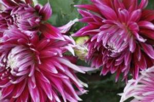dahlia flowers 2 | Photos and Images | Botanical