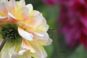 dahlia flowers | Photos and Images | Botanical