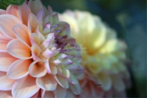 dahlia flower blooms in the garden | Photos and Images | Botanical