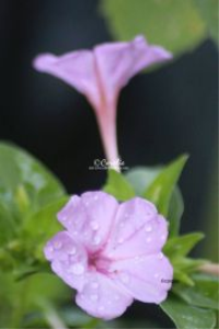 Four Oclock Flower Blooms | Photos and Images | Botanical