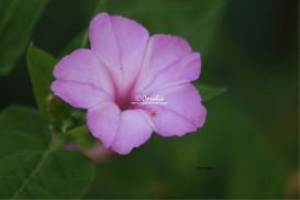 Four Oclock Flower Bloom 3 | Photos and Images | Botanical