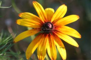 Gloriosa Daisy Flower Bloom | Photos and Images | Botanical