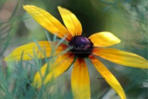 Gloriosa Daisy Flower Bloom 4 | Photos and Images | Botanical