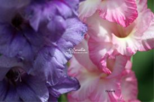 Purple and Pink White Glad Flowers | Photos and Images | Botanical