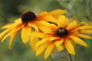 Two Gloriosa Daisy flower blooms | Photos and Images | Botanical