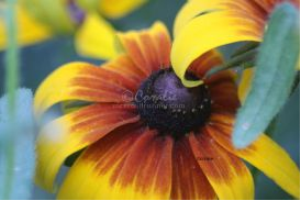 Gloriosa Daisy Flower Bloom 5 | Photos and Images | Botanical