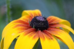 Gloriosa Daisy Flower Bloom 3 | Photos and Images | Botanical