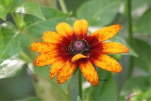 Gloriosa Daisy flower bloom 8 | Photos and Images | Botanical