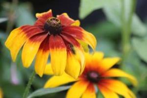 Gloriosa Daisy flower bloom 6   Photos and Images   Botanical