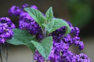 Heliotrope Flower Bloom | Photos and Images | Botanical