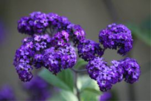 Heliotrope Flower Bloom 2 | Photos and Images | Botanical